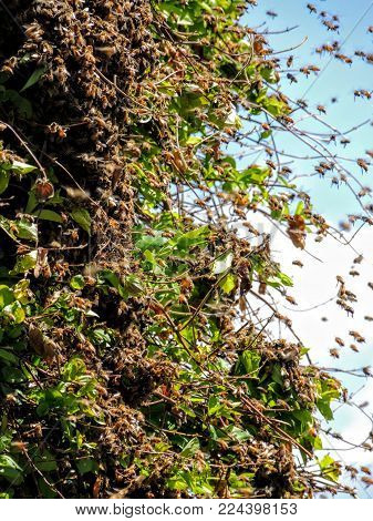 Huge Swarm Of Bees On Honey Suckle In Utah