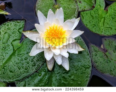 Water Lily Blooming After Rain Closeup With Water Droplets On Pads And Bright Yellow Colors