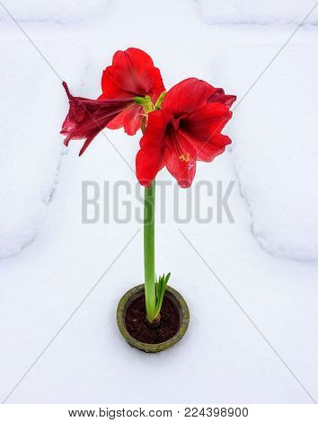 Amaryllis Blooming placed in Snow covered Garden for Contrast paradox