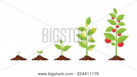 Growth of plant, from sprout to vegetable. Planting tree. Seedling gardening plant. Timeline. Vector illustration in flat style