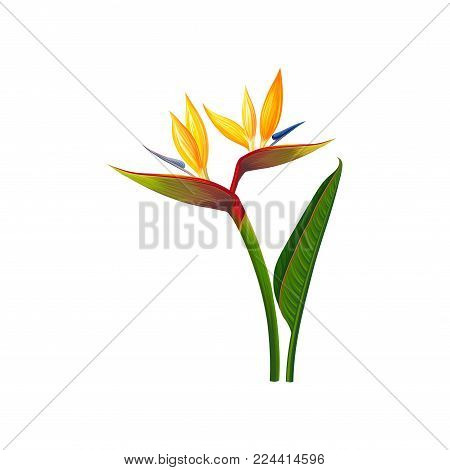Beautiful Bird of Paradise flowers, exotic plant vector Illustration isolated on a white background