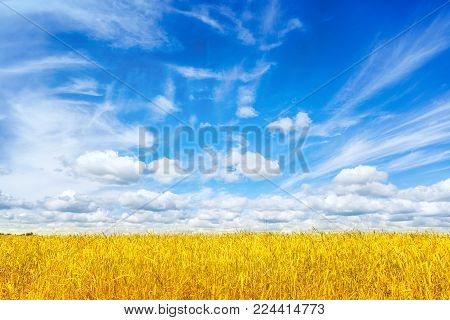 Wheat field. Ears of golden wheat close up. Beautiful Rural Scenery under Shining Sunlight and blue sky. Background of ripening ears of meadow wheat field. Rich harvest Concept. Ads