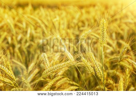 Wheat field. Ears of golden wheat close up. Beautiful Nature Sunset Landscape. Rural Scenery under Shining Sunlight. Background of ripening ears of meadow wheat field. Rich harvest Concept. Ads