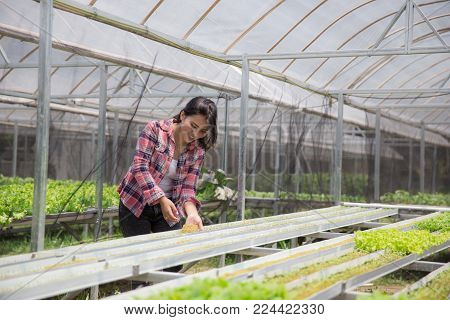 female farmer working in the green house, planting some new seed in hydorphonic farm