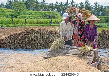 LOMBOK, INDONESIA - DECEMBER 30, 2016: Workers harvesting rice in the fields of Lombok in Indonesia