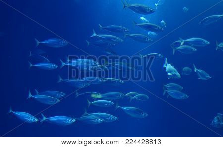 Herring in a swarm in a marine aquarium in blue optics