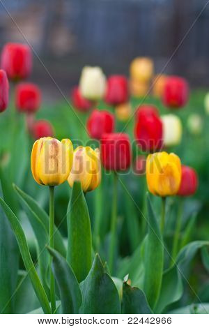 Beautiful Tulips Growing In The Flowerbed