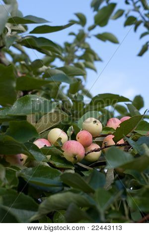 Apple Twig Garden Under Blue Sky