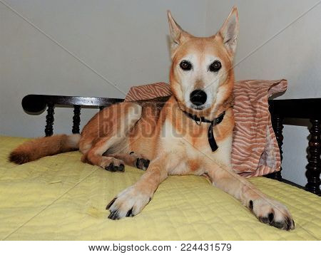 A brown and white mutt dog, lying on owner's bed, staring at the camera, front legs opened.