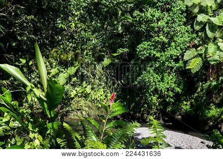 Lush green tropical foliage, leaves and plants at Togitogiga Waterfall on Upolu Island, Samoa, South Pacific.