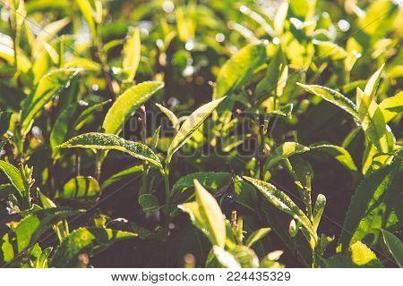 Green Tea Leaves In A Tea Plantation In Morning. Closeup Green Tea Leaves