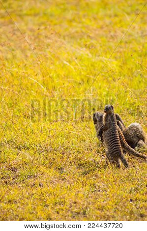 Four mongooses stand on their feet in the savannah of Maasai Mara in northwestern Kenya