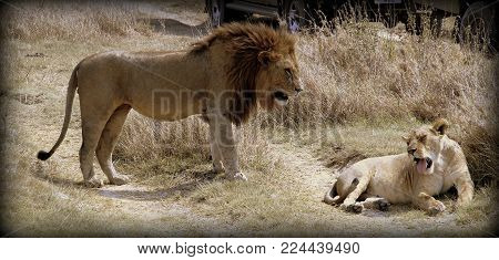 Lion and lioness in the African sabana
