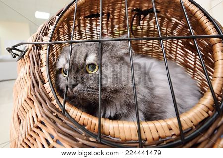 a large old beautiful Persian cat sitting in an animal basket against the backdrop of a veterinary clinic.