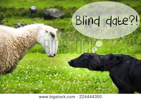 Dog Meets Sheep With Speech Balloon. English Text Blind Date. Green Grass Meadow In Norway.