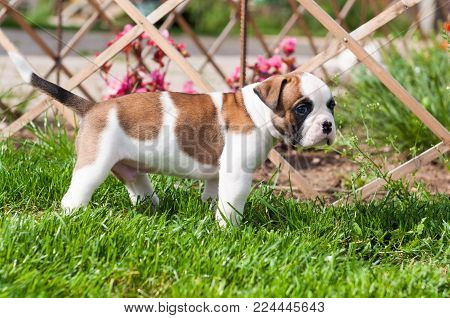 Funny nice red white American Bulldog puppy is walking on the grass. Puppy's acquaintance with nature. Dog puppy is afraid and interested in the world around him
