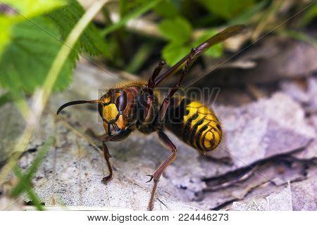 European hornet (Vespa crabro) raise paws in protection