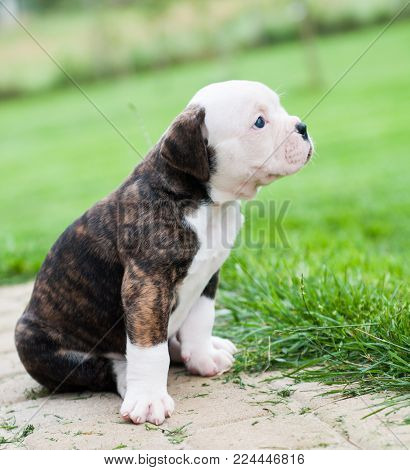 Funny nice red tiger coat American Bulldog puppy is walking on the grass. Puppy's acquaintance with nature. Dog puppy is afraid and interested in the world around him