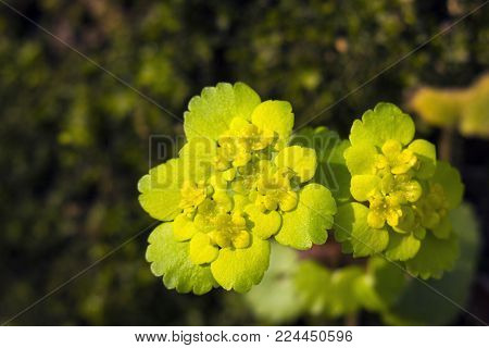 Yellow spring small flowers Chrysosplenium alternifolium. Alternate-leaved golden-saxifrage, top view
