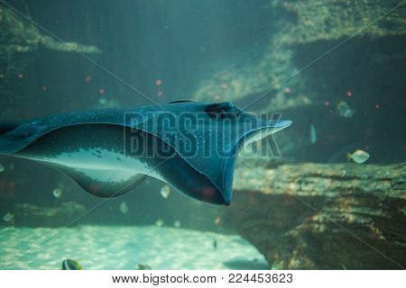 Close up under water view of a stingray swimming in an aquarium