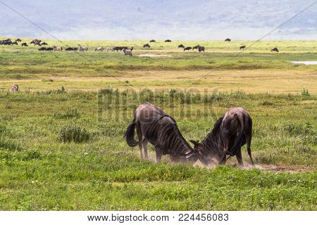 Battle of two wildebeest antelopes. Inside the crater of Ngorogoro. Tanzania