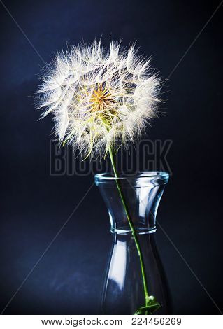Dried dandelion in a glass jar against black background