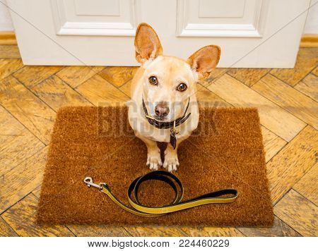 Podenco Dog Waiting For Owner To Play  And Go For A Walk On Door Mat ,behind Home Door Entrance With