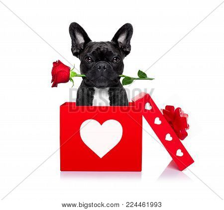 French Bulldog Dog In Love For Happy Valentines Day With  Rose Flower In  Mouth , Isaolated On White