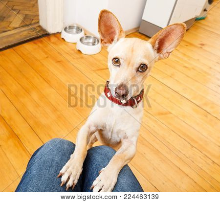 Podenco Dog Ready For A Walk With Owner Or Hungry ,begging On Lap , Inside Their Home