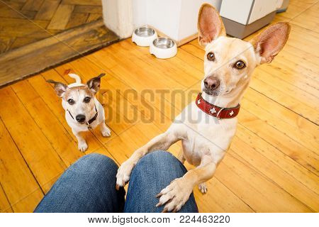 Couple Of Dogs Ready For A Walk With Owner Or Hungry ,begging On Lap , Inside Their Home
