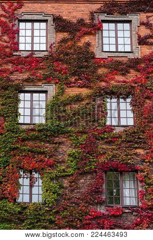 Building covered with colorful ivy's leaves in autumn. Green and red fall colors interweave between themselves. Climbing plant on the wall.