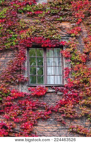 Alone window surrounded by colorful ivy's leaves in autumn. We can still see the green summer in the window. Green and red fall colors interweave between themselves. Climbing plant on the wall.