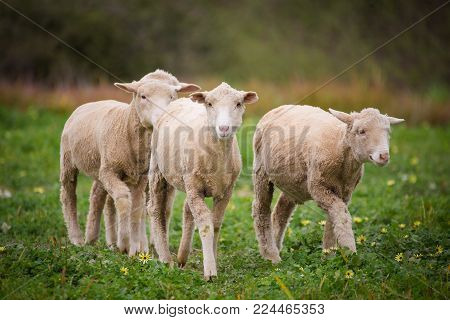 Close Up View Of A Flock Of Sheep On A Green Pasture