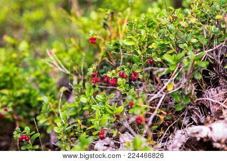 Heavy branches of cranberry or foxberry in a middle of the fresh and rich colored nature of the swedish forest. Middle of the photo in focus.