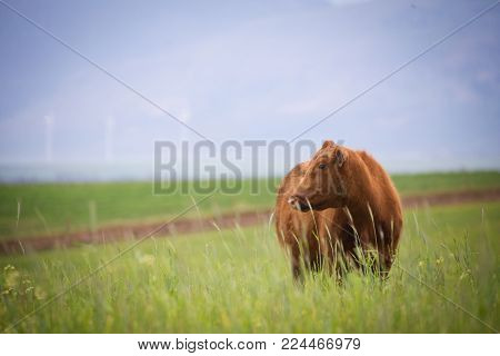 Close Up Image Of A Cow / Cattle In A Green Meadow