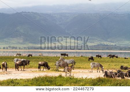 Landscape of NgoroNgoro crater. Herds of herbivores. Tanzania, Africa