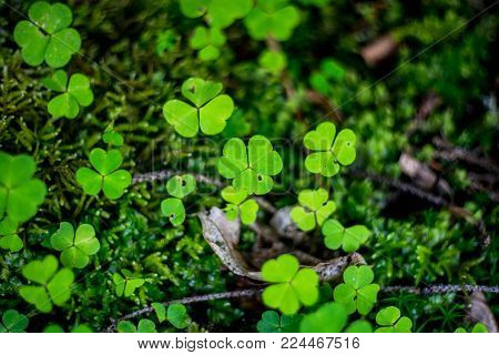 Green clover leaves in the moss. Clovers surrounded by fairy tale atmosphere. Great for Saint Patrick's day