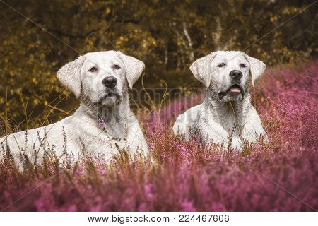 two cute little labrador dog puppies on a meadow with purple flowers