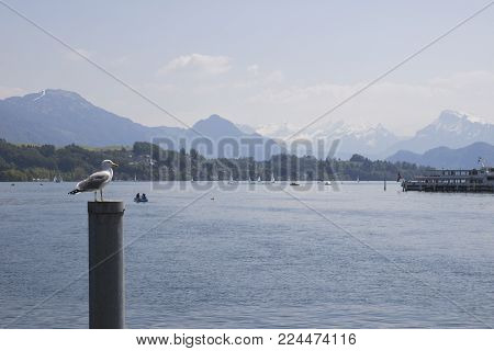 Switzerland. Gull on a mooring pole in the Lake Lucerne with view of the Swiss Alps in the medieval city of Lucerne, in central Switzerland, in the German-speaking portion of the country