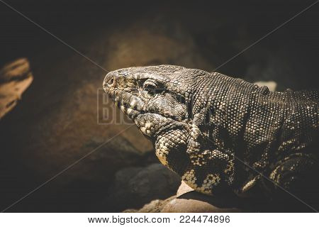 Close Up Image Of A Rock Monitor Lizard Laying In The Sun