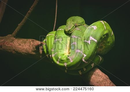 Close Up Image Of A Green Tree Boa Wrapped Around A Branch