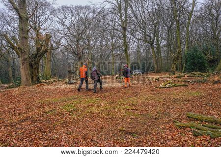 Hainault Forest, Essex, England, UK  - January 9, 2018:  pollarding the ancient hornbeam trees to regenerate the forest.