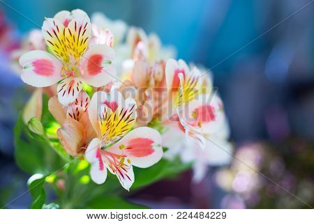 Beautiful Bouquet Of Colorful Alstroemeria Flowers Outdoor In Daylight On Blurred Blue Background