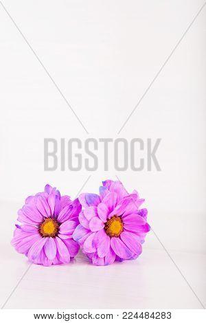 Two Beautiful Purple Chrysanthemum Flowers On White Wooden Background