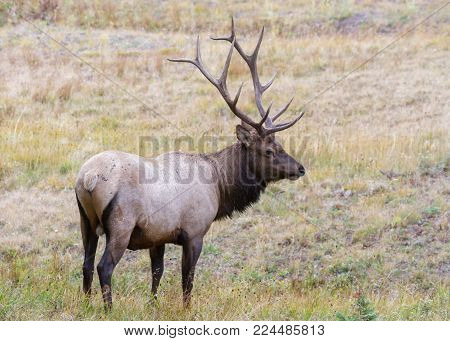 Wild Elk in the Rocky Mountains of Colorado - Bull Elk In The Rain