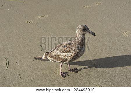 Cute seagull walking along the beach in florida