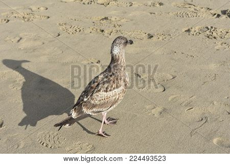 Brown Feathered Seagull Walking Away From The Camera