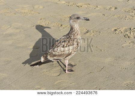 Pretty gray beach bird walking on the naples beach shore
