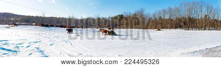 Panoramic winter scene with a herd of oxen