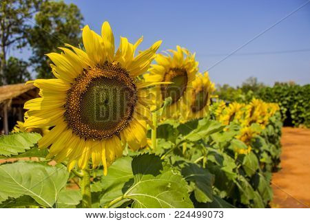 Close Up Of Yellow Sunflower In Sunny Day At The Garden With Blur Background. Sunflower Shallow Dept